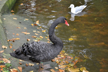 The black swan (Cygnus atratus Latham) and seagull stand on the