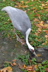 The white-naped  crane (Grus vipio Pallas) drinks water from a b