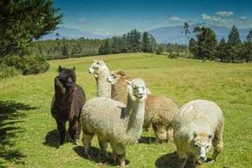 Alpacas in the Andes of Ecuador