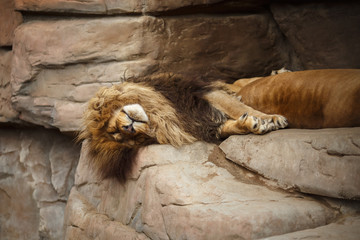 Lion resting on the rocks