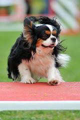 cavalier king charles en agility