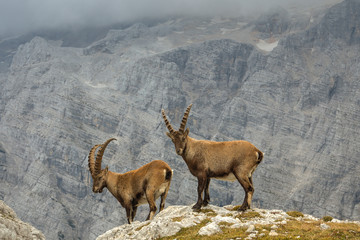 Male Ibexes above the cliff in front of Mount Triglav North Wall