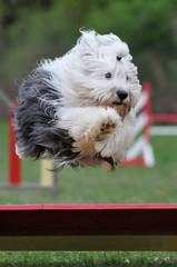 bearded collie en agility