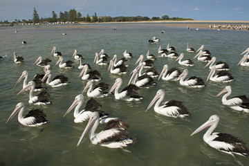 .The daily pelican feeding of more than eighty birds.