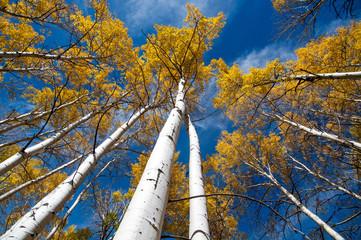autumn aspen look up, colorado