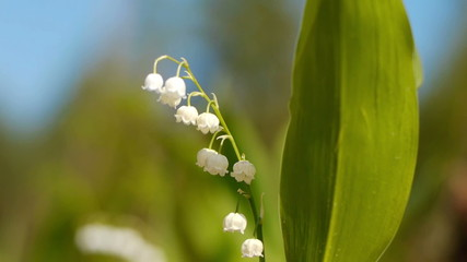 Shot of lilly of the valley on spring time