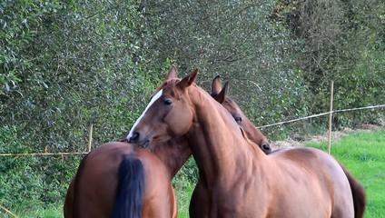 Zwei Pferde knabbern sich gegenseitig am Fell