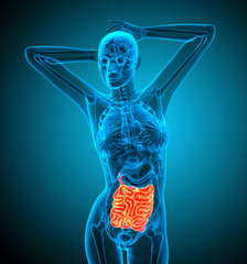 3d render illustration of the small intestine