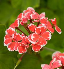 Red Pelargonium Geranium Flower in Spring