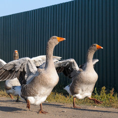domestic geese on a farm