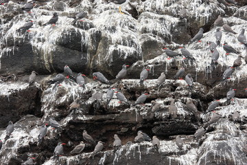 cormorano zampe rosse red-legged comorant