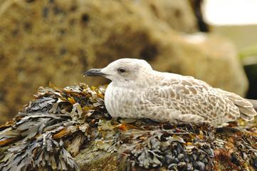 Wild sea gulls on the coast of the Atlantic Ocean