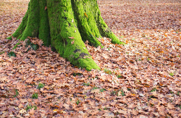 a moss covered tree trunk surrounded by fallen leaves