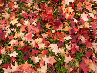 Autumn, fall leaves on grass, lawn. Red, yellow.