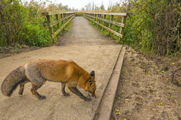Red fox walking along a wooden bridge  in nature at fall