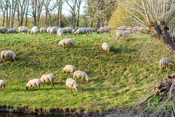 Herd of sheep in Zeeland, Holland