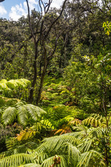 The ferns in the rainforest, Big Island, Hawaii