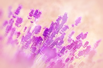 Soft focus on flower lavender
