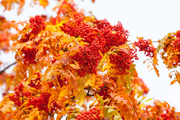 Ripe red rowan berries and yellow leaves
