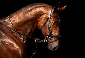 Portrait of bay horse Holsteins on a black background