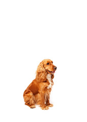 Cute cocker spaniel with copy space