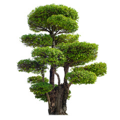 Twisted tree isolated on white background. Chinese garden bonsai