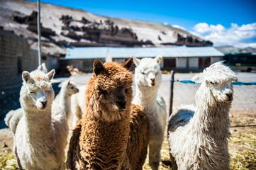 gruppo di alpaca