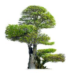 Old bonsai tree isolated on white background