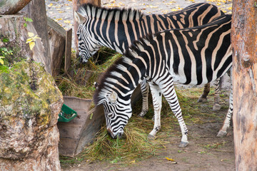 Eating zebras in the zoo