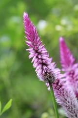 Pink Lupin Flowers - Fairchild botanical gardens