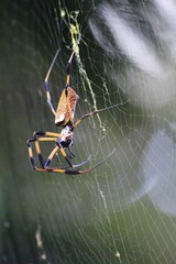 Golden Silk Spider - Fairchild Gardens