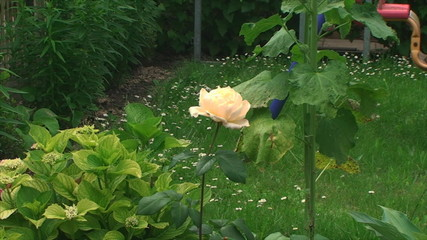beautiful yellow rose is growing on the plot
