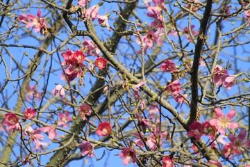 Ceiba speciosa Tree blooming - Fairchild Gardens