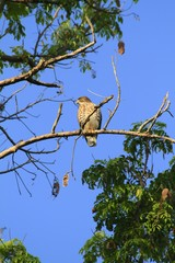 Broad-winged hawk standing on a branch