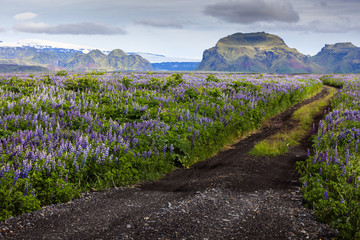 Road among the flowers in the valley of Icelandic mountains