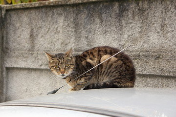 domestic cat on top of a car