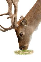 isolated grazing deer