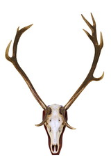 red deer buck skull