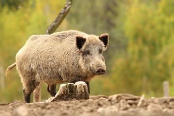 wild hog near stump