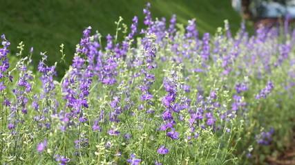 Purple flowers field flew by the wind