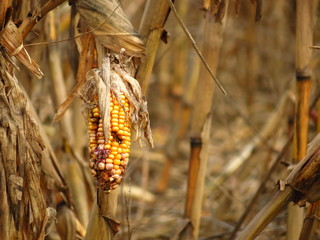 Corn destroyed by drought