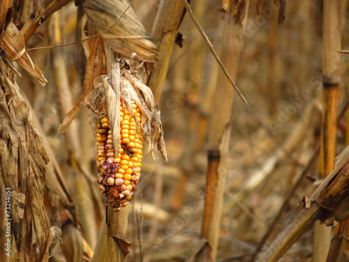 Tuinposter Droogte Corn destroyed by drought