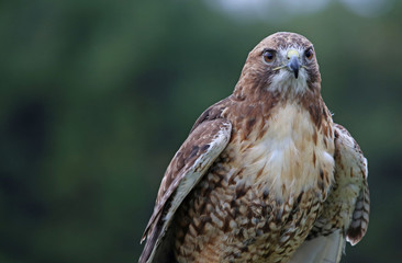 Red-tailed Hawk Head-shot