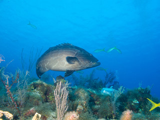 large black grouper (Mycteroperca bonaci)