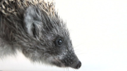 Young hedgehog waddle from left to right