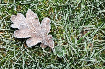 Rauhreif an auf Gras liegendem Eichenblatt