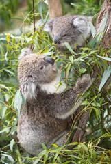 koala  eating gum leaves.