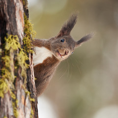 Portrait of a European squirrel