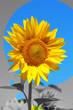 Beautiful sunflower in field, close up