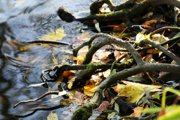 Tree roots in water with autumn leaves